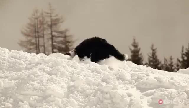 Avalanche Rescue Dogs