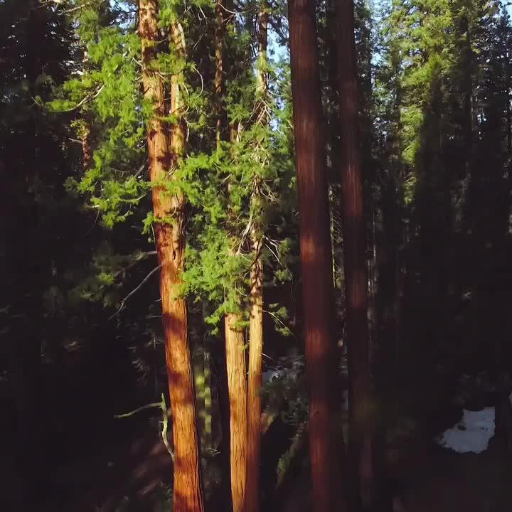 Tall Trees GIFs
