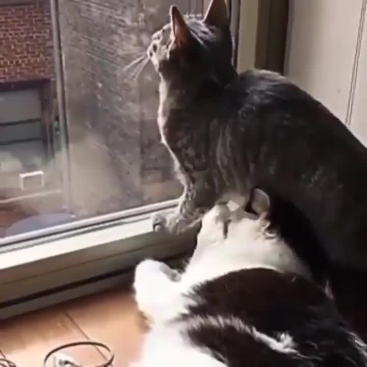 cats, Cat takes their window watching quite seriously GIFs