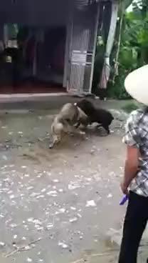Chọi chó