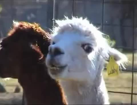 Watch and share Llamas GIFs and Llama GIFs on Gfycat