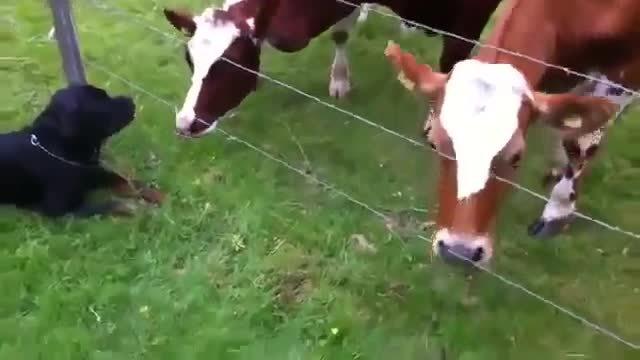 awwgifs, happycowgifs, Hello...small cow? (reddit) GIFs