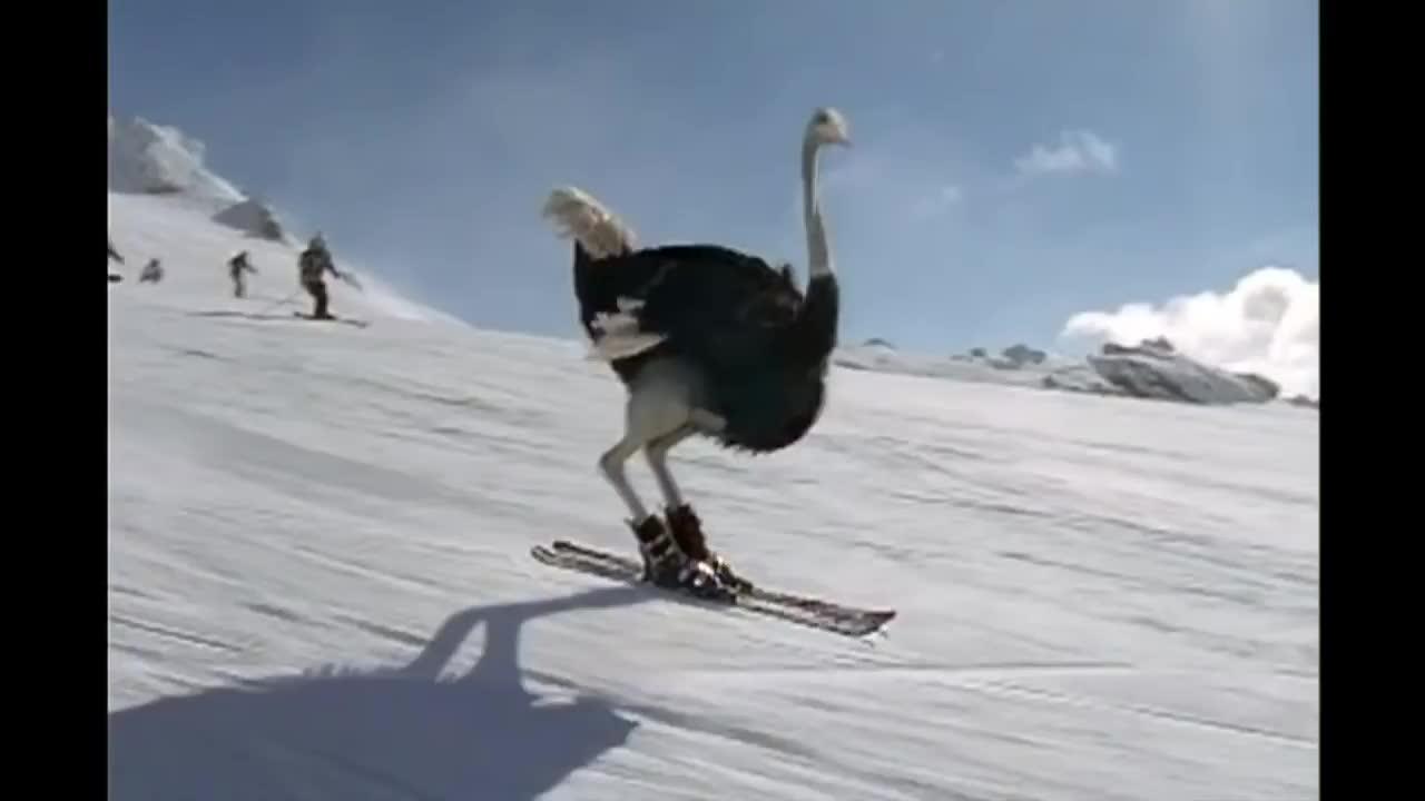 Skiing ostrich GIFs
