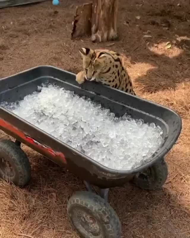 Watch and share Big Cats Reaction To Ice GIFs on Gfycat