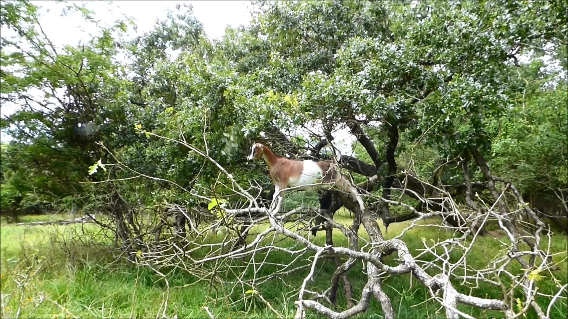 Goatparkour, dismount, goat, knsfarm, Graceful Dismount GIFs