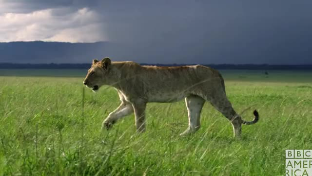 Watch this animal GIF by BBC America (@bbcamerica) on Gfycat. Discover more animal, animals, bbc america, bbc america dynasties, bbc america: dynasties, bye felicia, dynasties, lion, lions, swag, walking, yolo GIFs on Gfycat