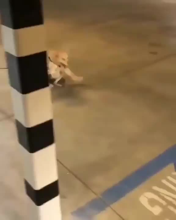 cute, dog, puppy, This is Scooty. He's experienced full paralysis in his back legs, but that doesn't stop him from moving around with all the energy of a lovi GIFs