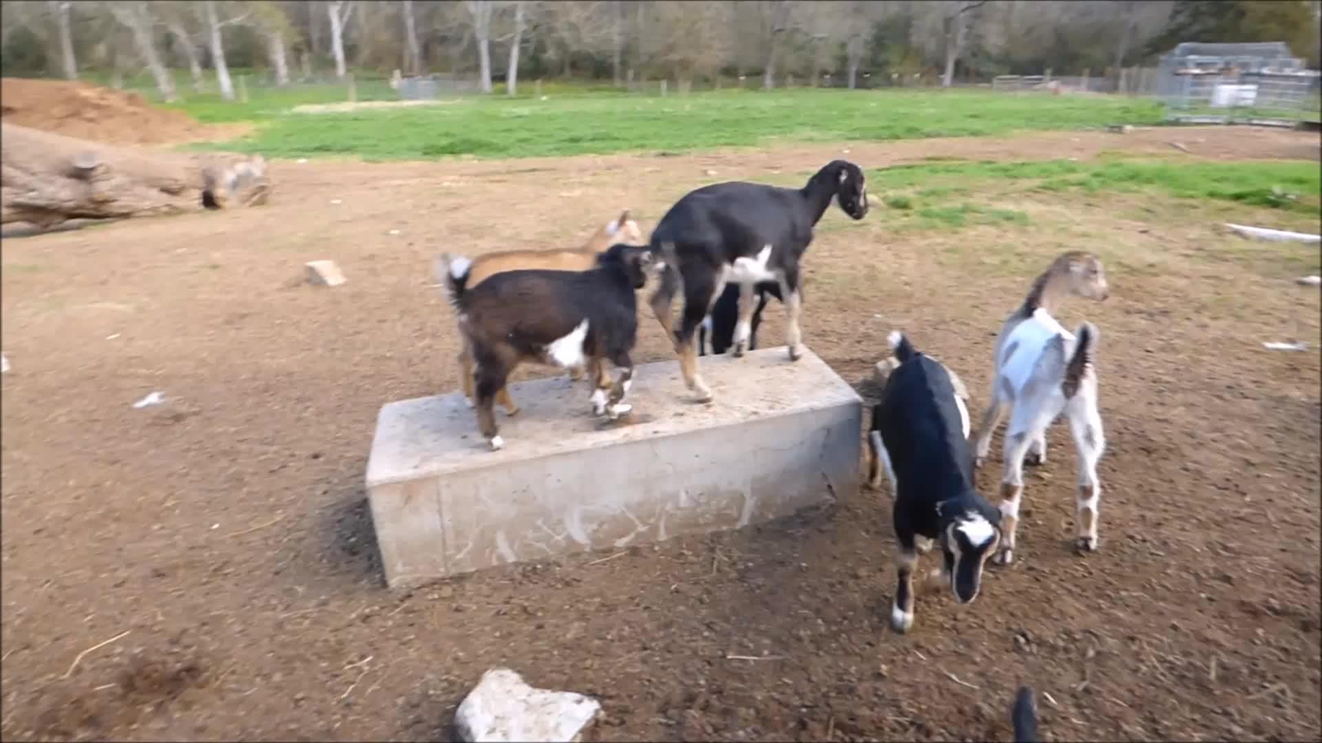 aww, cute, goatparkour, knsfarm, Wriggle Jump GIFs