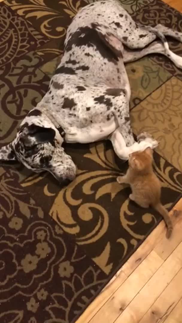 Watch and share Kitten Goes For The Face And Gets A Smack Down GIFs on Gfycat