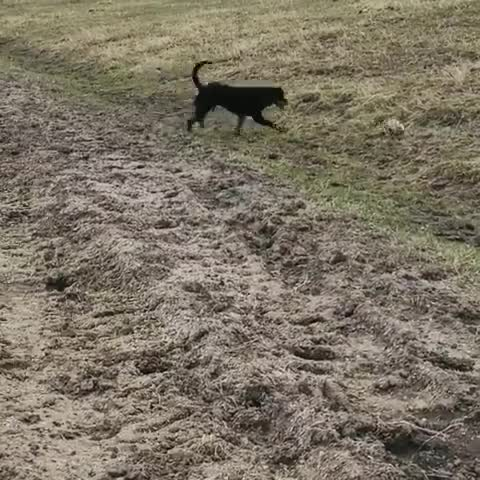 Attempting to herd a prairie dog. GIFs