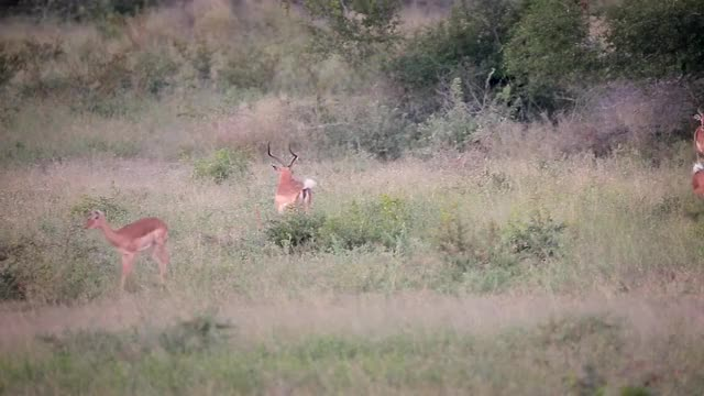 Watch Rutting Impala GIF by @londolozi on Gfycat. Discover more related GIFs on Gfycat