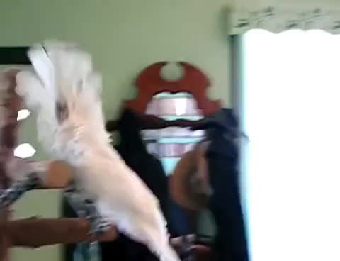 Watch Mama Mia Cockatoo Dance! GIF on Gfycat. Discover more related GIFs on Gfycat