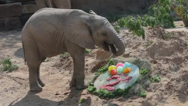 Watch Baby Elephant Ajabu's 2nd Birthday GIF by PM_ME_STEAM_K3YS (@pmmesteamk3ys) on Gfycat. Discover more Animal, Dallas, Dallas Zoo, Texas, baby animal, calf, elephant, swaziland, zooborn GIFs on Gfycat