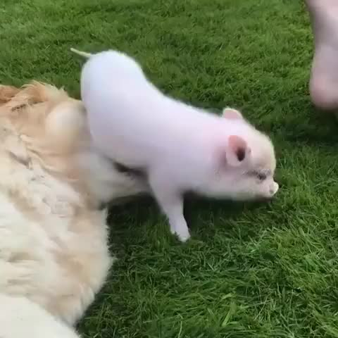 Watch this dog GIF by @imleannotbig on Gfycat. Discover more dog, pig GIFs on Gfycat
