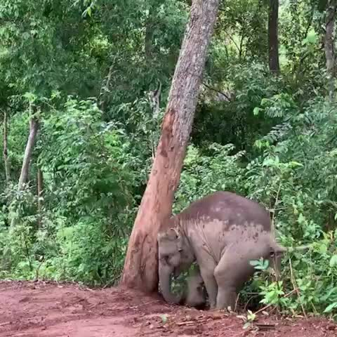 animallovers, animals, asianelephant, babyelephants, chiangmai, elephant, elephant nature park, elephantnaturepark, elephantsanctuary, enp, kerenelephantreserve, saddleoffprojects, thaielephant, thailand, theherd, just enjoying the dirt! GIFs