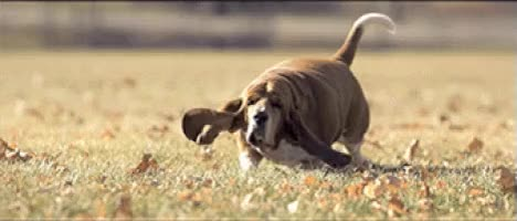 Watch and share Basset Hounds GIFs on Gfycat