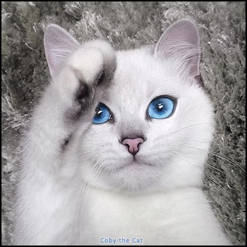 Watch and share CAT Coby The Gorgeous White Cat Is The Most Beautiful Blue Eyed Cat In The World GIFs on Gfycat