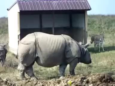 Watch this rhino GIF on Gfycat. Discover more pooping, rhino, rhinoceros GIFs on Gfycat