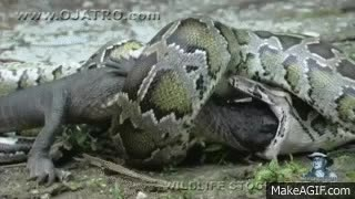 Watch and share Python Eats Alligator 02, Time Lapse Speed X6 GIFs on Gfycat