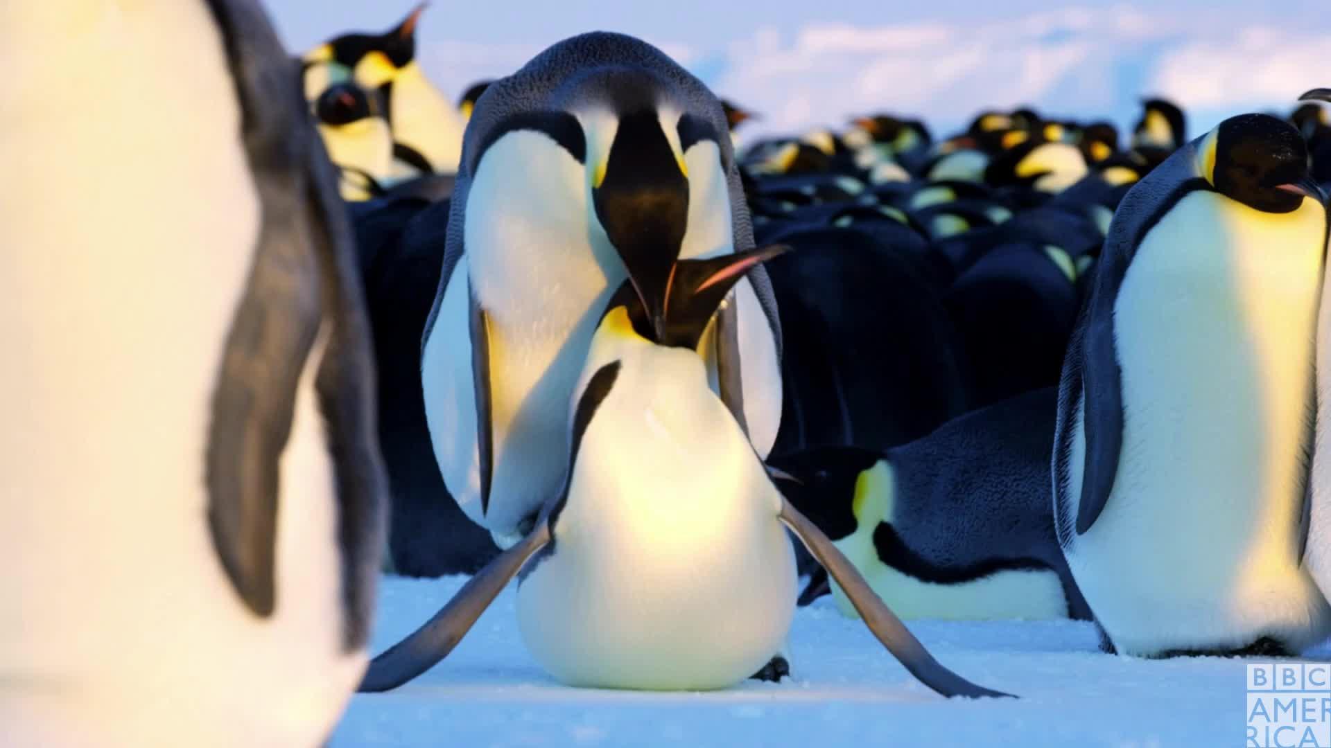 animal, animals, bbc america, bbc america dynasties, bbc america: dynasties, dynasties, emperor penguin, emperor penguins, funny, penguin, penguins, sex, Dynasties Penguin Sex Fun GIFs