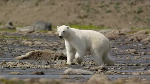 Watch and share Polar Bears Try To Catch Salmon GIFs on Gfycat