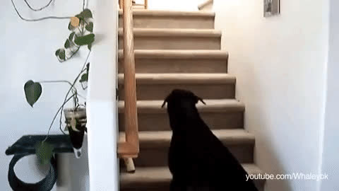 cat, dog, funny, regret, turn around, Dog walks up stairs and meets a cat GIFs