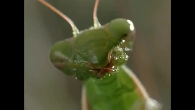 Watch Praying Mantis GIF on Gfycat. Discover more related GIFs on Gfycat