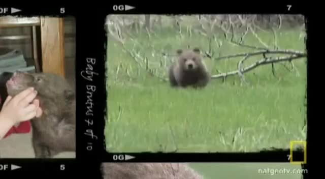 Watch Cub Running GIF on Gfycat. Discover more bear, brutus, cub, grizzly, life, montana, wild GIFs on Gfycat