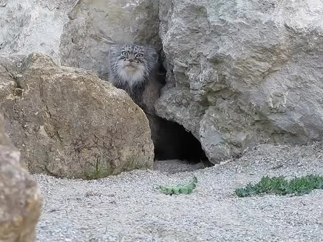 Watch and share Pallas Cat GIFs and Mongolia GIFs on Gfycat