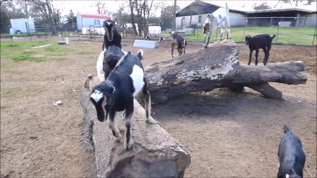 Watch Take Your Turn GIF by KNS Farm (@knsfarm) on Gfycat. Discover more goatparkour, knsfarm GIFs on Gfycat