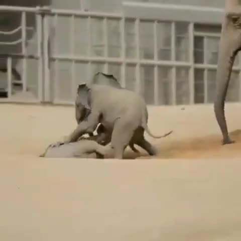 Watch final round GIF by PM_ME_STEAM_K3YS (@pmmesteamk3ys) on Gfycat. Discover more babyelephants, beautifulelephants, elephant, elephantlove, elephantrescue, elephants, elephantsofinstagram, savetheelephants, stoptheivorytrade, wildella GIFs on Gfycat