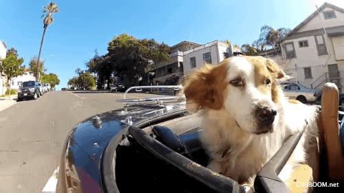 car, convertible, dog, dog convertible GIFs