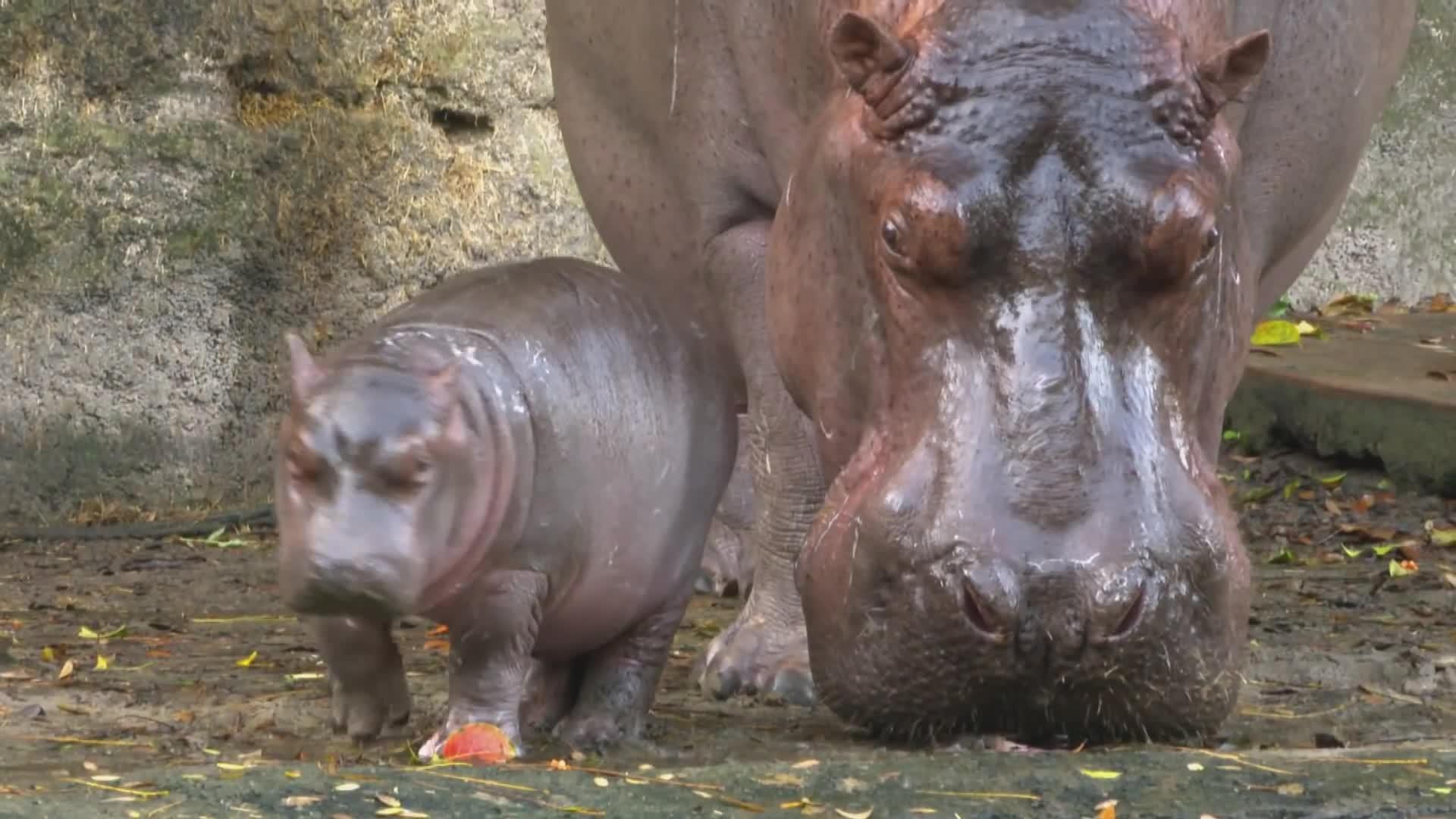 Meet Augustus the baby hippo born at Disney's Animal Kingdom GIFs