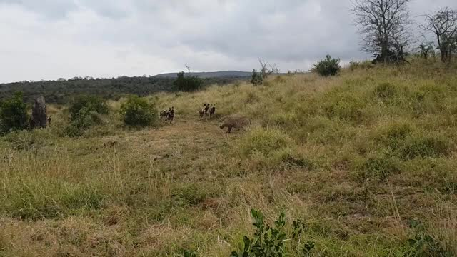 Watch and share Clever Warthog Evades A Pack Of African Wild Dogs GIFs by Pardusco on Gfycat