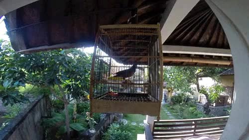 Watch Flipping bird in Amed, Bali, Indonesia GIF on Gfycat. Discover more related GIFs on Gfycat