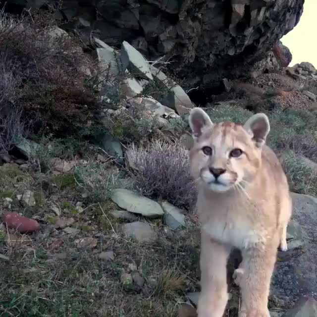 Watch and share Nature GIFs and Puma GIFs by unnaturalorder on Gfycat