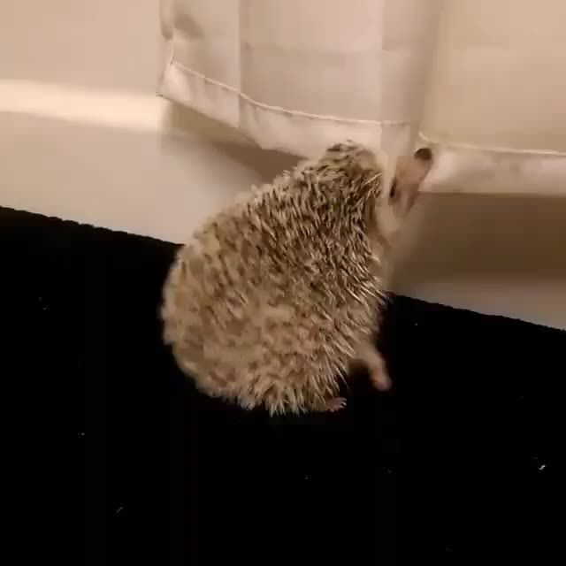 A Hedgehog And Shower Curtain GIF