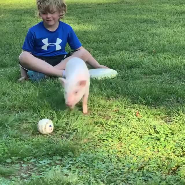 Watch and share Pig Rolling A Baseball Around GIFs by yourfavoritegiffer on Gfycat