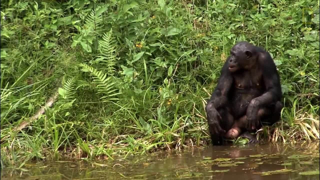 National Geographic, apes, likeus, Things You Probably Didn't Know About Cute Bonobos GIFs