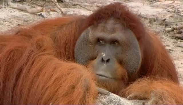 Watch Hercules the Orangutan | Orangutan Diary | BBC GIF on Gfycat. Discover more animals, bbc, nature, wild, wildlife GIFs on Gfycat