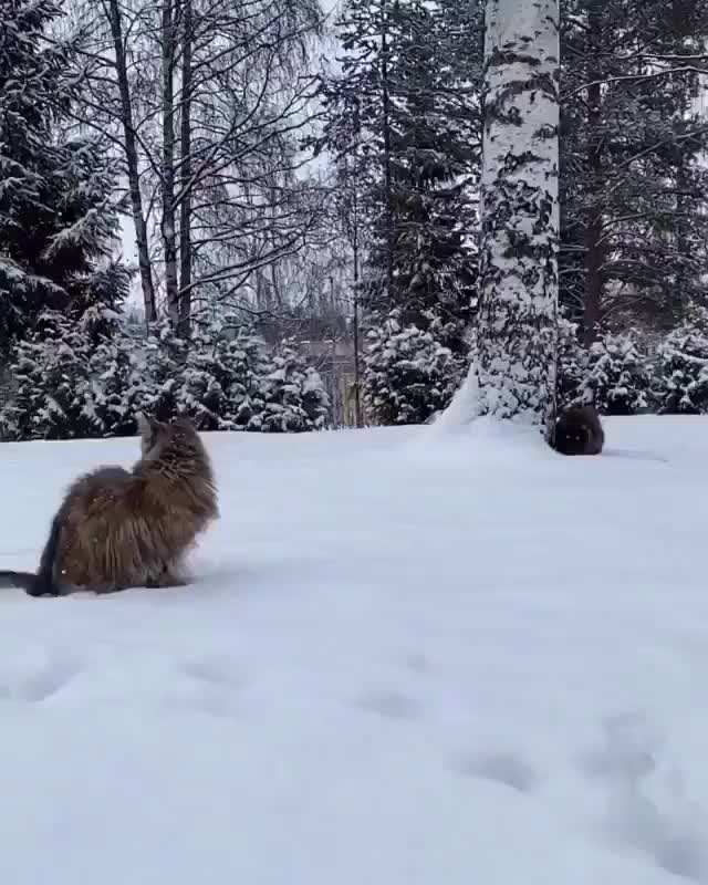 Watch and share Source: Mainecoonqueens On Instagram GIFs by Nomorefoxgiven on Gfycat