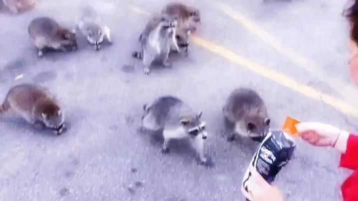 upvotegifs, Raccoon Upvote 1 GIFs