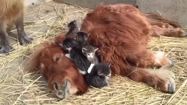 Watch and share Capybara GIFs and Kittens GIFs by likkaon on Gfycat