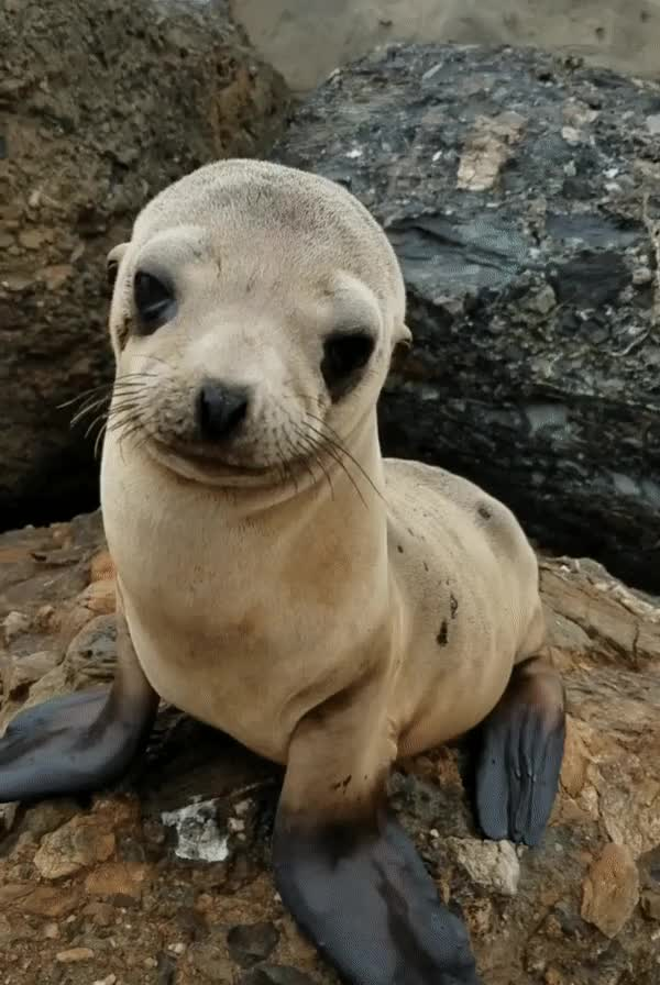 Watch and share Sea Lion Pup GIFs by natsdorf on Gfycat