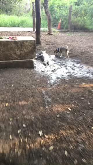 Huskies, animalsbeingderps, doggy, Down & Dirty GIFs