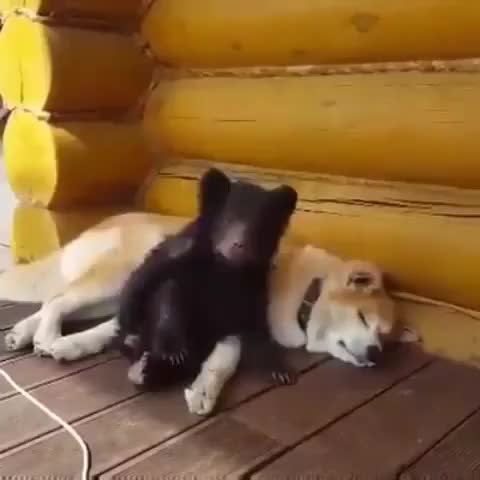 Watch and share Bear GIFs and Dog GIFs by FarSizzle on Gfycat
