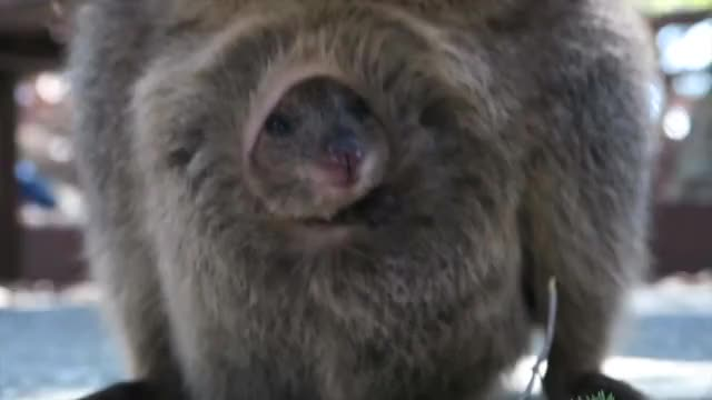 Watch and share Quokka Adventures GIFs by likkaon on Gfycat