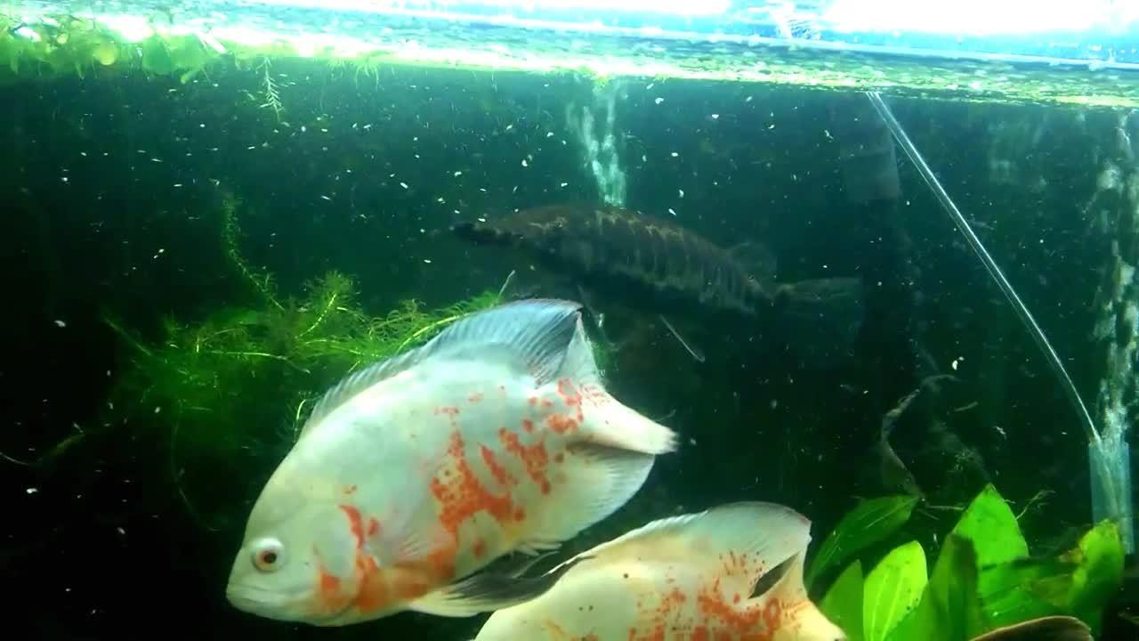 MonsterFishKeepers, monsterfishkeepers, Gar eating pellet slow-mo GIFs