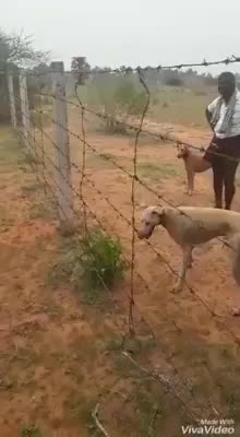 Watch Rajapalayam dog1.MP4 GIF on Gfycat. Discover more related GIFs on Gfycat