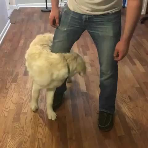 Watch and share Dogsofinsta GIFs and Goldenpuppy GIFs by vani  on Gfycat